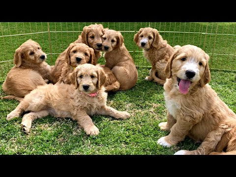 GOLDEN DOODLE PUPPIES ARE THE CUTEST!!