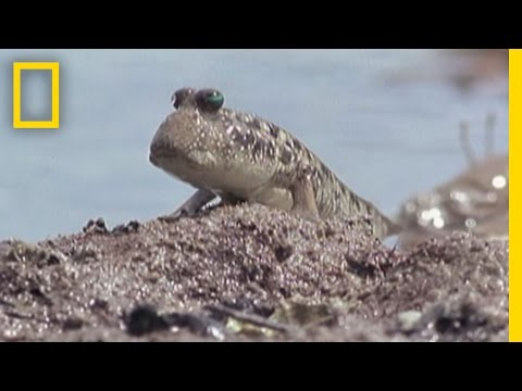 Fish That Walk | National Geographic