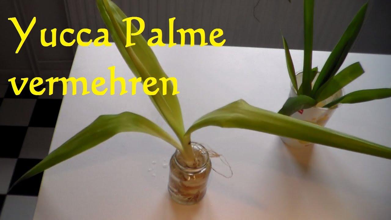 Yucca palme vermehren yucca palme schneiden ableger for Zimmer yucca palme bluht