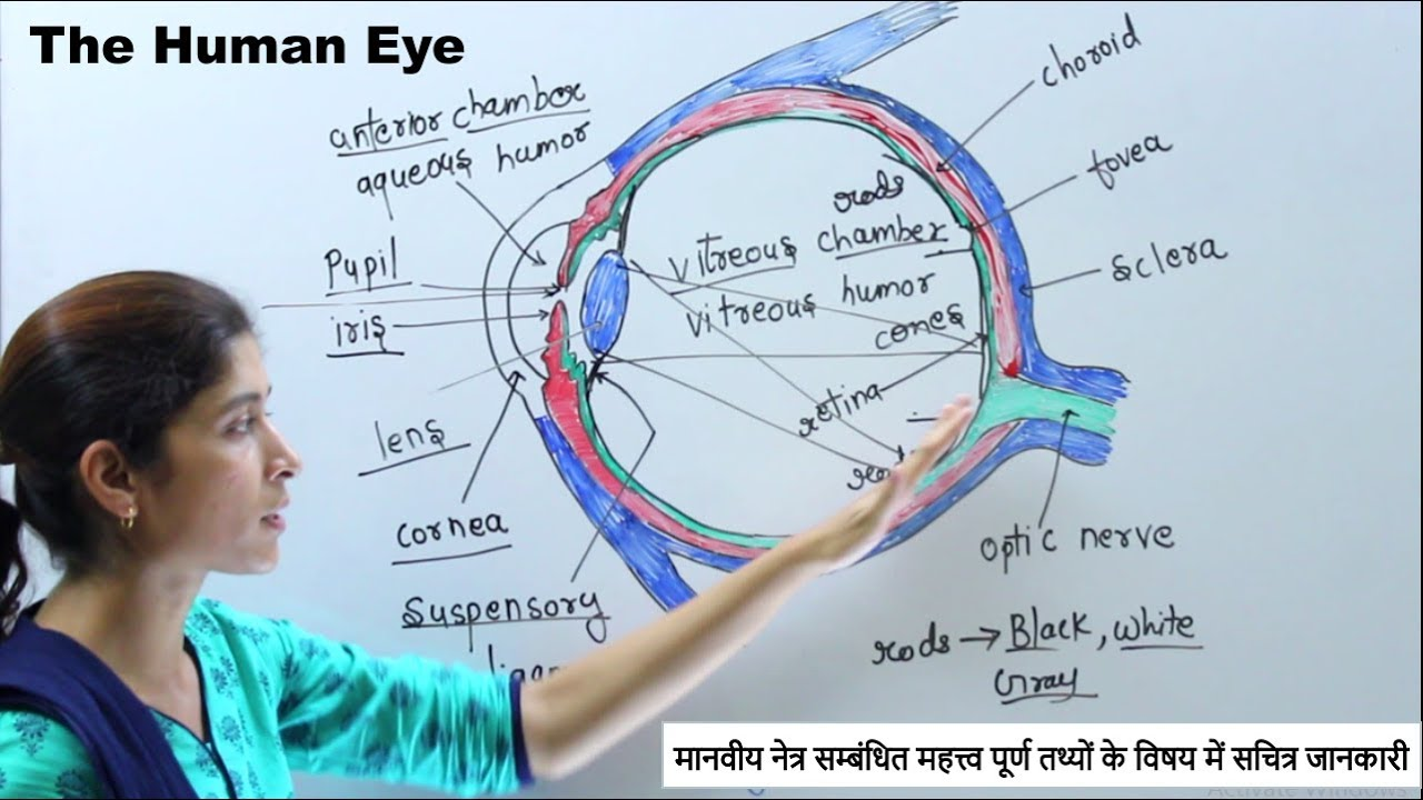 Gk Biology Structure And Working Of Human Eye