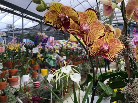 Let's Go Shopping! Looking for Christmas Colored Orchids, Come with Me