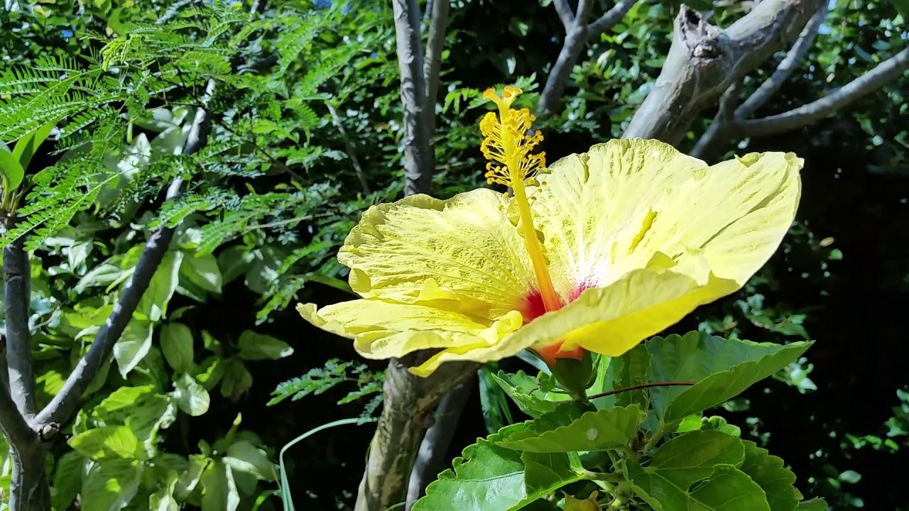 huge hibiscus hawaii state flower youtube