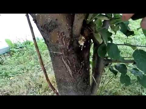 Гриб-трутовик на плодовых деревьях