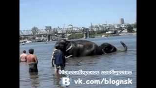 Купание слонов в Оби (Новосибирск)