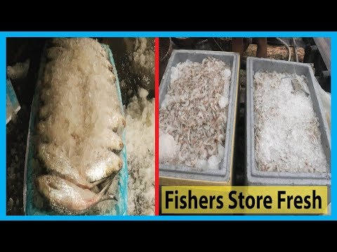 How Fishers Store Fresh Fish By Ice (Shrimp & Hilsa) | Fish Corn