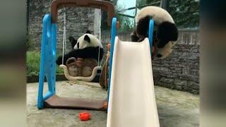 This Baby Panda Has No Idea How to Play Basketball