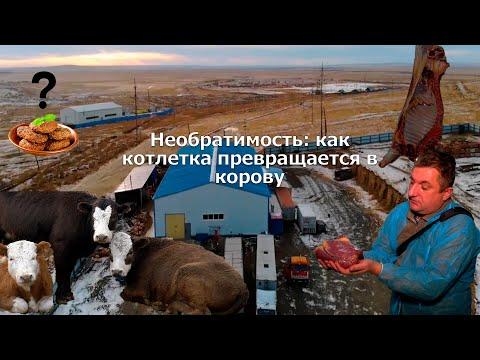 Необратимость: как котлетка превращается в корову (Забайкальский край, Борзя, Забойный цех)