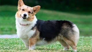 Собака-улыбака вельш-корги пемброк