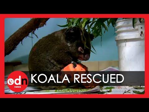 Koala Rescued From Bushfire Recovers In Hospital