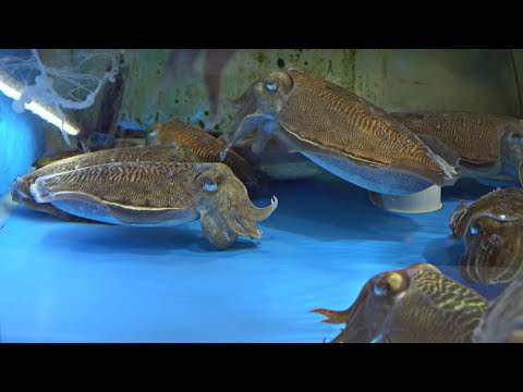 Korean Fish Market - Cutting Live Cuttlefish