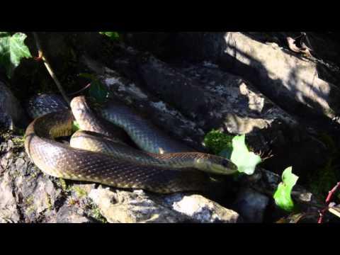 Saettone / Aesculapian snake ( Zamenis longissimus ) * ENGLISH SUBS * - Missione Rettile 2014