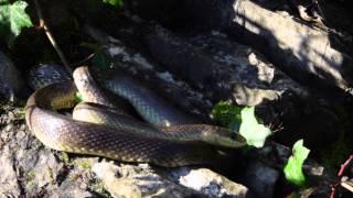 Missione Rettile 2014: Saettone ( Zamenis longissimus ) * ENGLISH SUBS *
