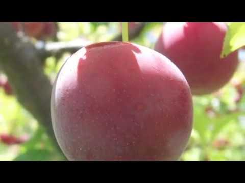 When to Prune an Italian Plum Tree