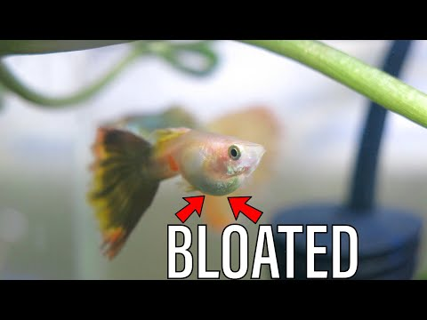 How To CURE Dropsy In Guppy Fish! Salt & Veggies.