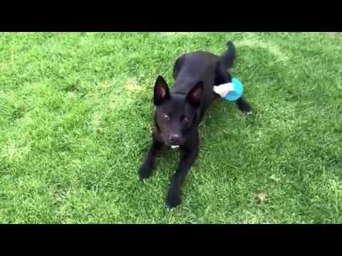 Nox - The Australian kelpie - puppy drill practice in the backyard.