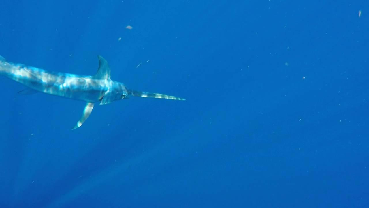 Underwater Swordfish Footage - YouTube Swordfish Underwater