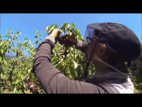 Cherry Picking Australia
