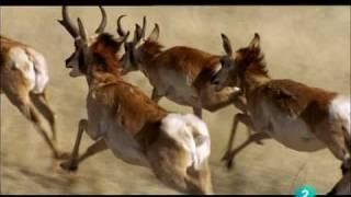 Antilope americano