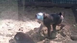 Смешные животные. Monkey. Обезьяна с миской.