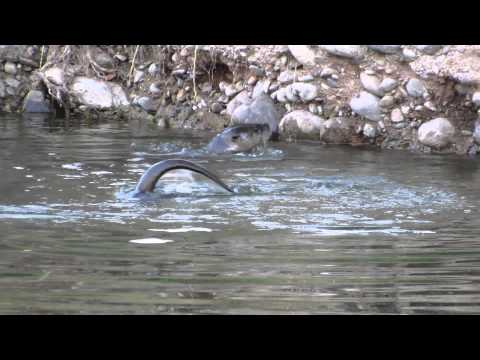 Three Otters Play And Find Crawdads To Eat!
