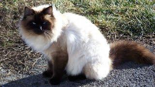 Балинезийская кошка, описание, уход, Породы Кошек