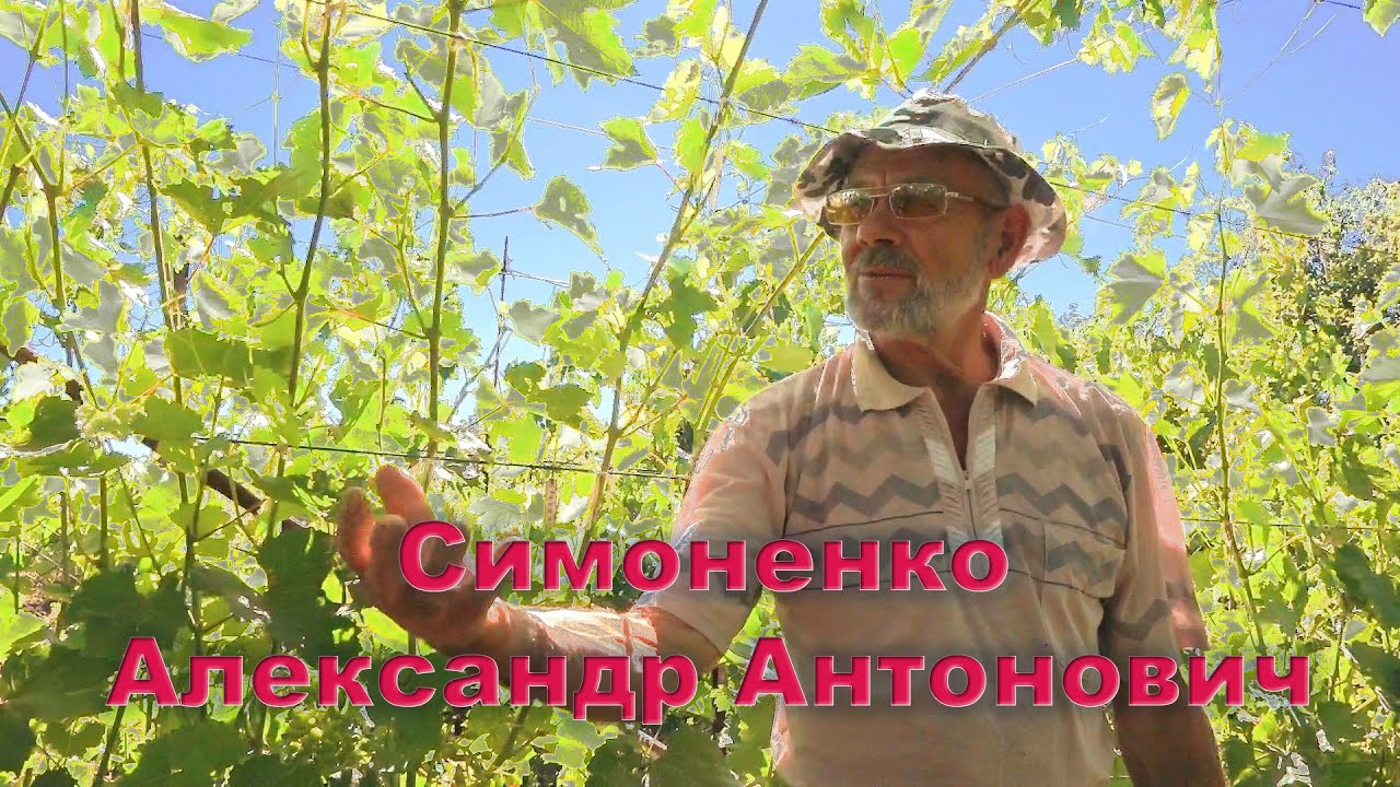 В гостях у виноградаря Симоненко Александра Антоновича.