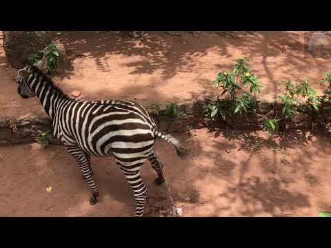 Why Do Animals Fear Of Zebra? Marking the territory