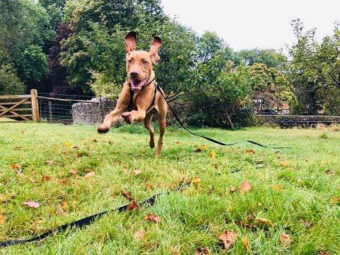 Ralph - 6 Month Old Hungarian Vizsla - 4 Weeks Residential Dog Training