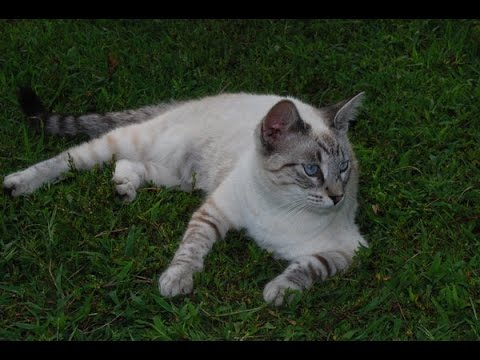 Siamese cat Cat Breed
