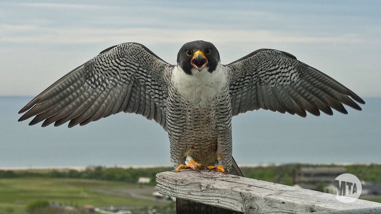 an overview of the peregrine falcon The new ny bridge project is excited to announce the hatching of two young peregrine falcons high above the hudson river the project team is inviting the public to.