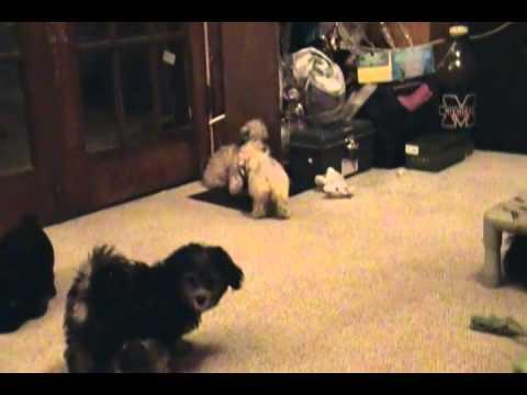 2014-07-24 Video of Lori's Havanese puppies - pt1