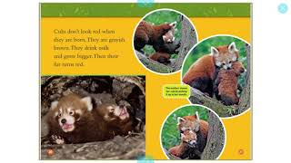 National Geographic Red Pandas