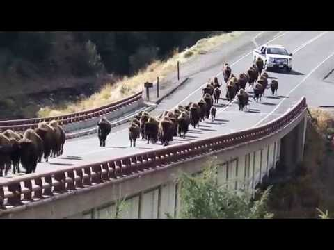 Bison Roundup in Yellowstone National Park
