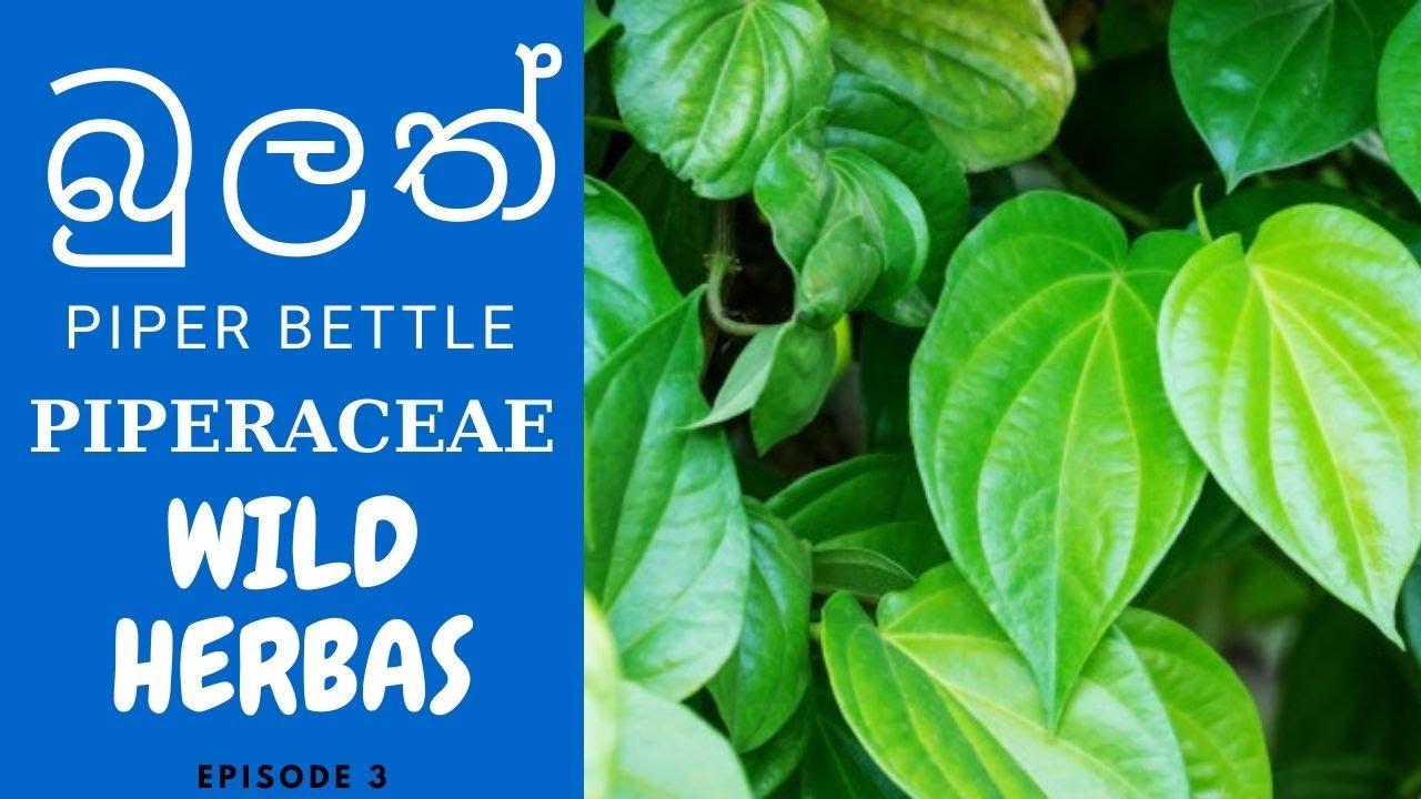 බුලත් ගැන සරලව යමක් – තාම්බුල – Piper Bettle ( PIPERACEAE) – Bulath – Wild Herbal Medicine #Herbalmedicine