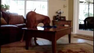 Dog Trick - Ridgeback Dusts Table - Positive Dog Training In Jacksonille, Fl