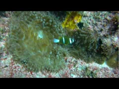 Clownfish and Lionfish