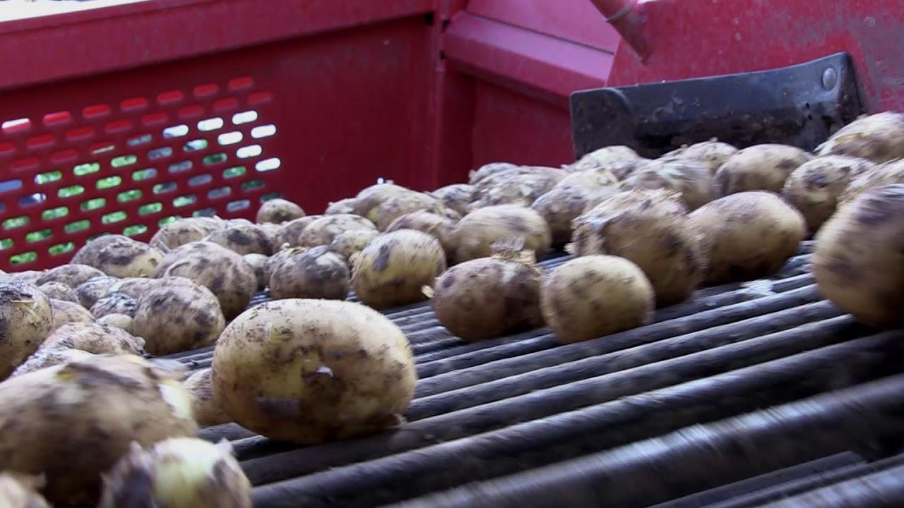 Hvor Kommer De Nye Kartofler Fra Youtube