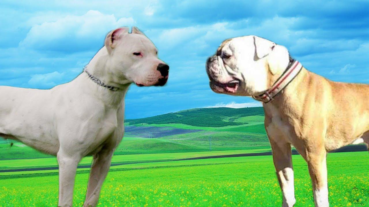 American Bulldog Vs Boxer | www.pixshark.com - Images ...