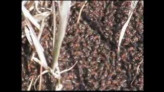 Весенний муравейник. лесной рыжий муравей
