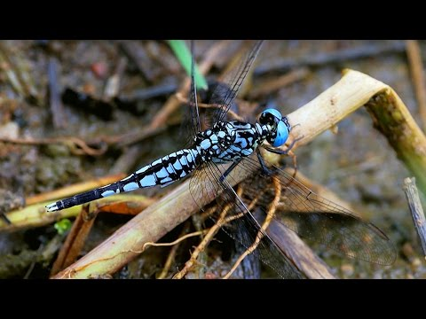Dragonfly Named After Attenborough! | #Attenborough90 | BBC