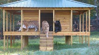 監禁されていた熊・ライオン・トラの3匹。保護され、仲良く自由な暮らし...