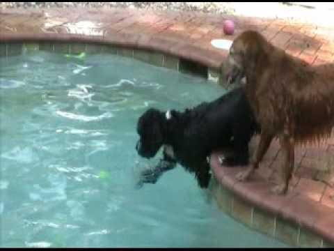 Marley - Portuguese Water Dog