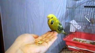 Выставочный волнистый попугай чех - совсем ручной