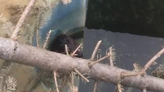 Водяная крыса попала в бассейн