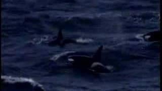 Killer-Whales / シャチ.