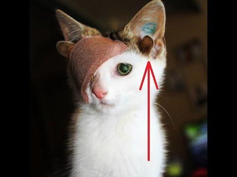 Кот с четырьями ушами и одним глазом, история спасения бездомного котенка людьми