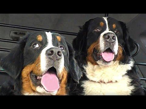 Бернские Зенненхунды - Огромные и Смелые. Bernese Mountain Dog - Huge and brave.