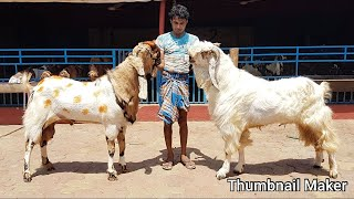 Jamnapari Andul Adant For Sell By /Bakra Gold/