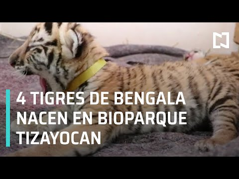 Reabren Centro de Rescate Animal Bioparque Tizayocan, nacen 4 tigres de bengala - Despierta