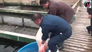 El Patio - Dani koi - ATB TV Japan 2013 day 3 Sakai Fish Farm